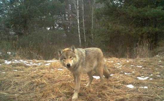 Волк, истинный хозяин природы в Чернобыльской зоне отчуждения